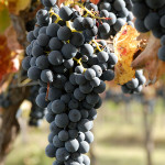 tenuta cavalier pepe grapes