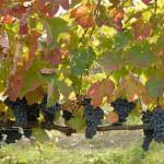 tenuta cavalier pepe grapes 2